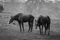 102_two-horses-in-the-rain-221cdf411755ab76a76792151636bac22677b45a