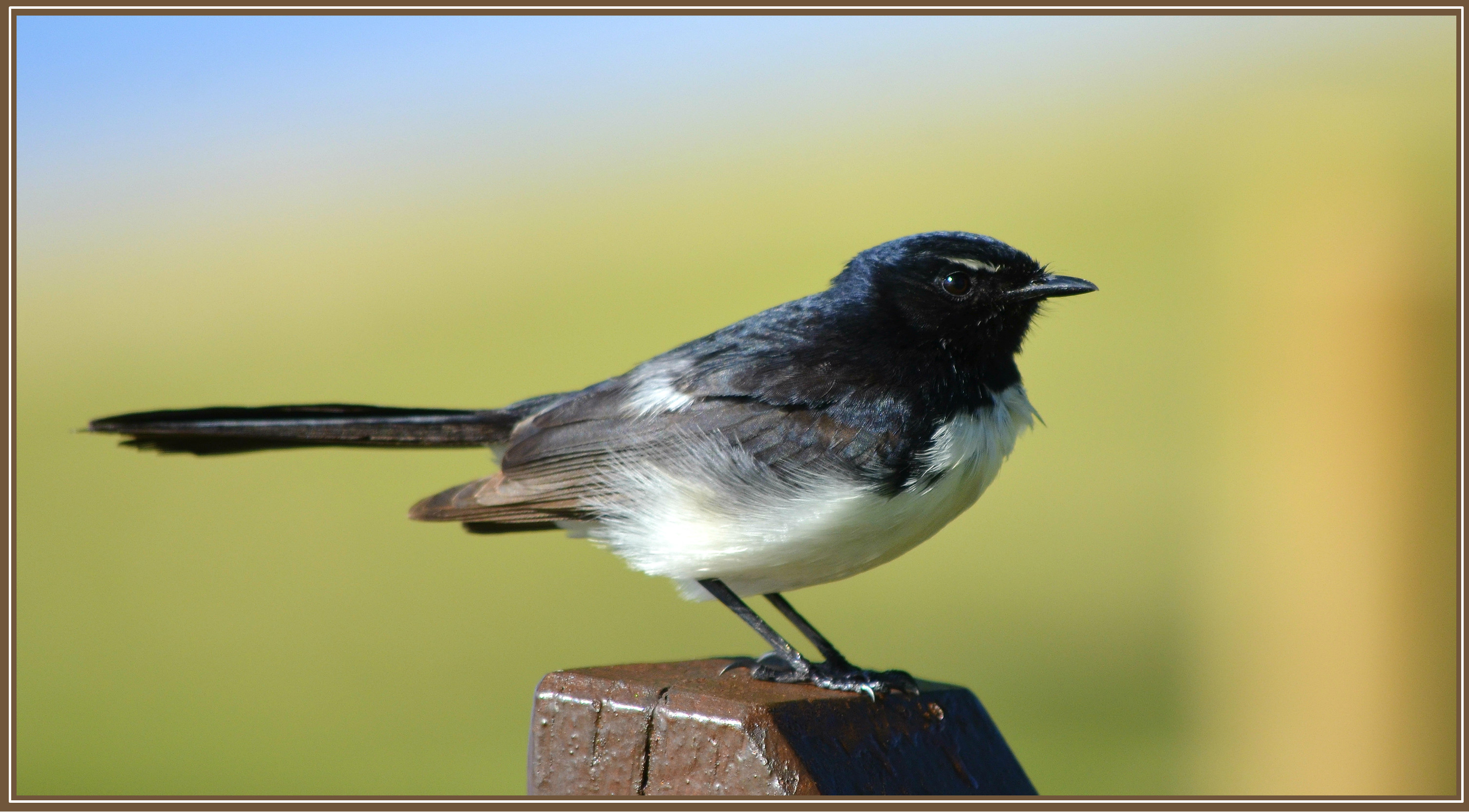 078_willie-wag-tail-b89e977bf2eb521026d933adeff8bbbbc526a315