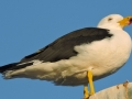 084-magnificent-pacific-gull-dscn2059-754623682491a59744a5b7fa52dad9ce5cb648af