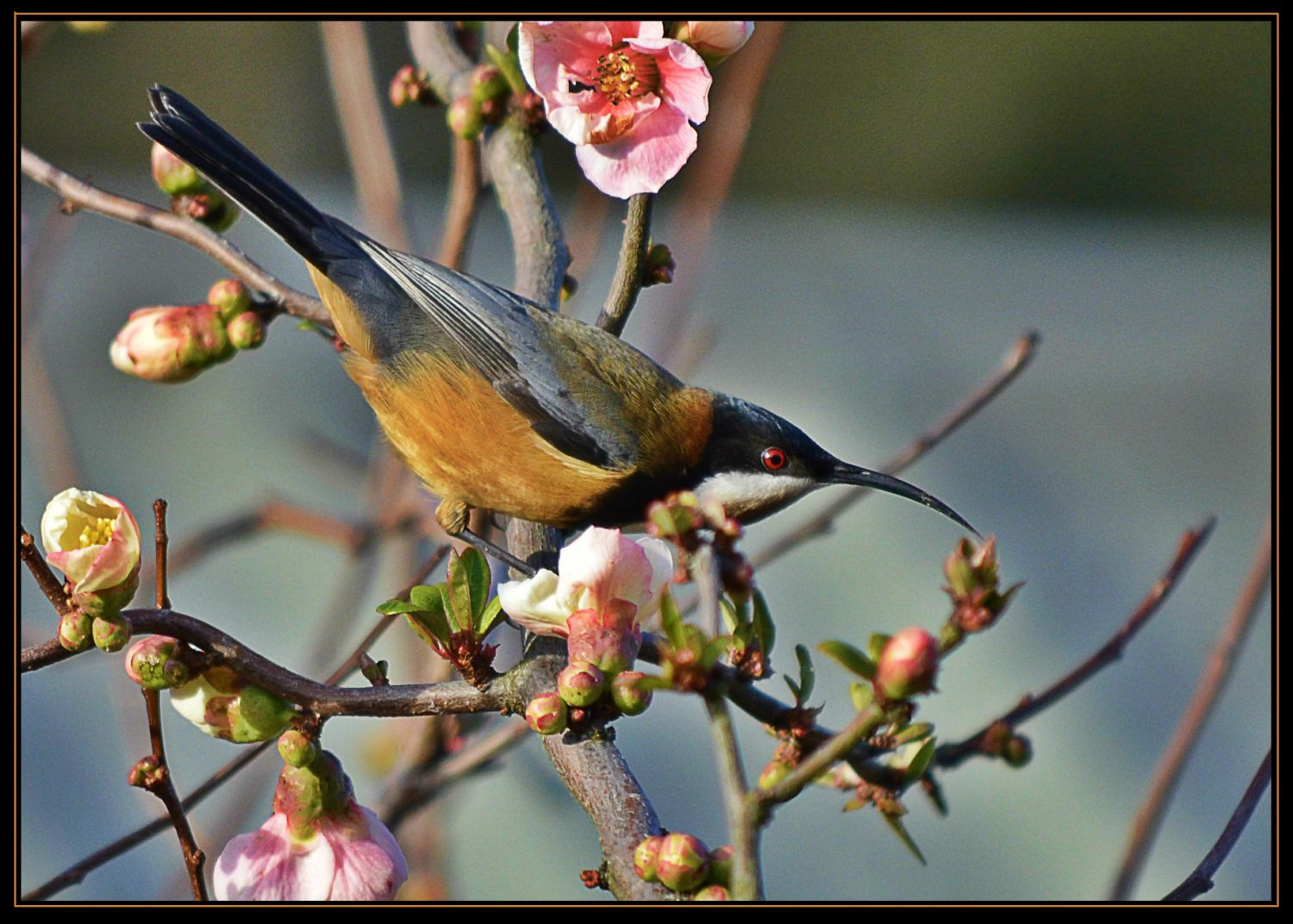 17_078-Easter_Spinebill_